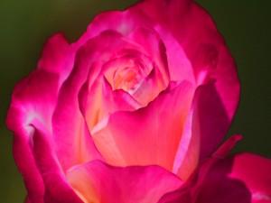 Postal: Una bella rosa fucsia