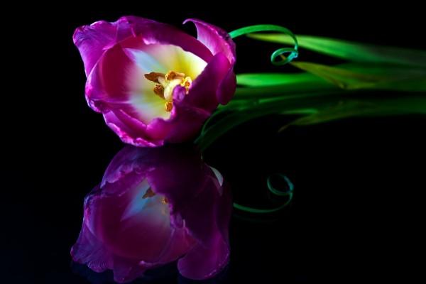 La belleza de un tulipán