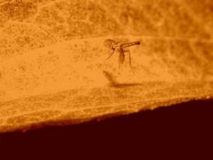 Mosquito en una imagen color sepia