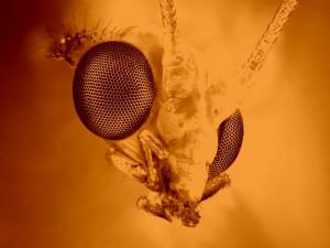 La cara de un feo insecto