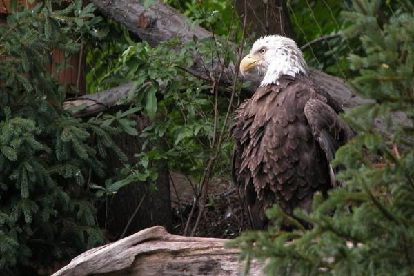 Una hermosa águila calva