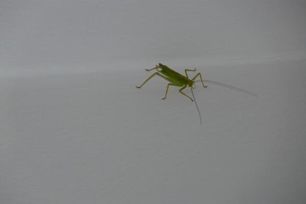 Insecto verde con largas antenas