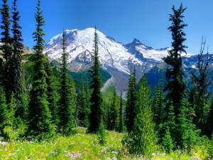 Postal: Maravilloso bosque de pinos junto a la montaña