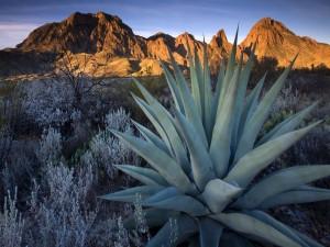 Postal: Gran planta de aloe vera en el desierto