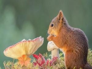 Postal: Ardilla comiendo semillas junto a unas setas