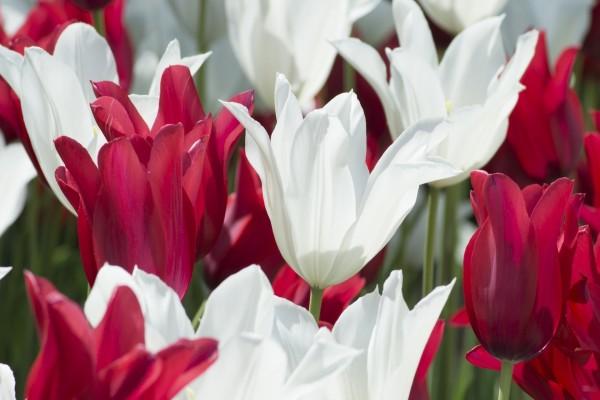 Tulipanes rojos y blancos en un jardín