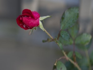 Un pimpollo de rosa con gotitas de agua