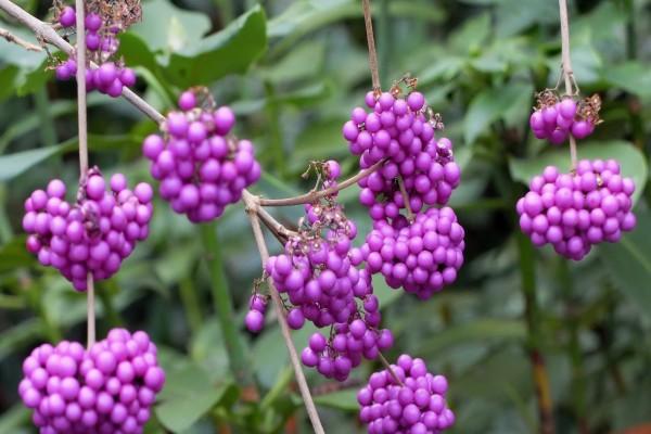 Bayas de color lila en la planta