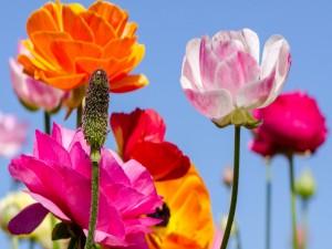 Atractivas amapolas de varios colores