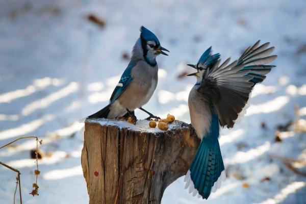 Dos pájaros enojados por la comida