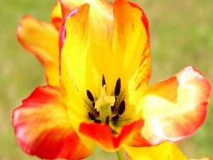Pétalos de un majestuoso tulipán
