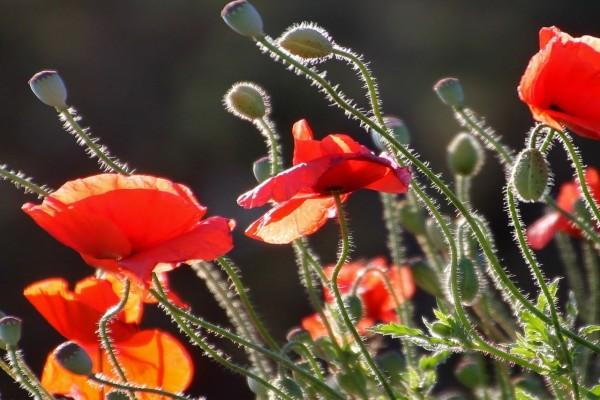 Espléndidas amapolas en en el campo