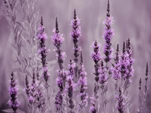 Postal: Flores lavanda en un prado
