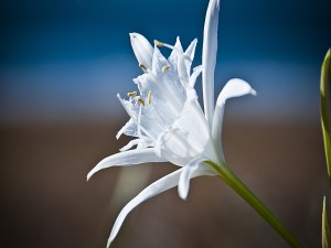 Un magnífico lirio blanco