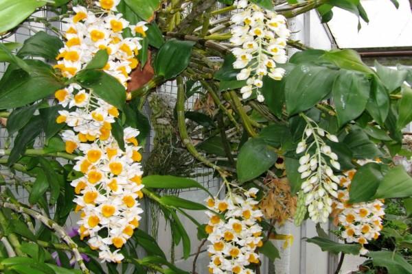 Sorprendentes orquídeas en la planta