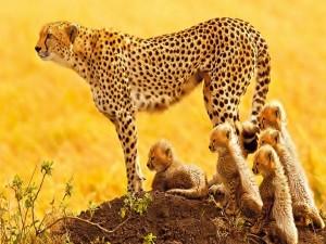 Guepardo hembra junto a sus cachorros