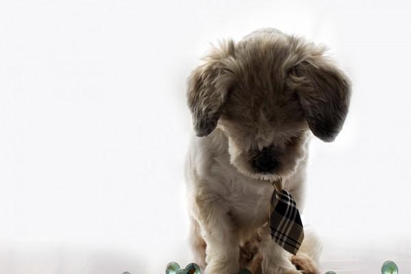 Bello perro con un corbatín