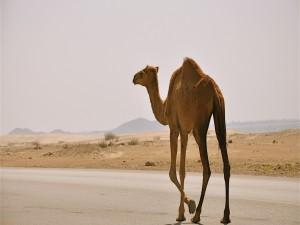 Camello caminando por una carretera
