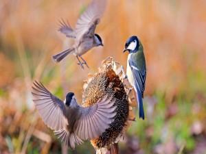 Postal: Pájaros sobre un girasol seco con muchas pipas