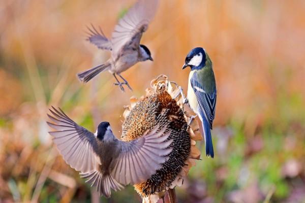 Pájaros sobre un girasol seco con muchas pipas