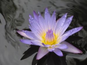 Bonita flor en la superficie del agua