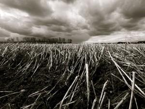 Pajas secas en un campo