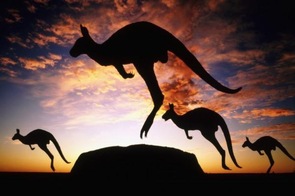 Canguros saltando al amanecer