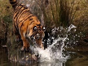 Un joven tigre jugando con el agua