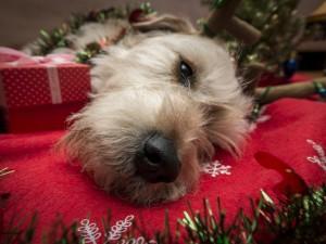 Postal: Perro descansando entre adornos navideños