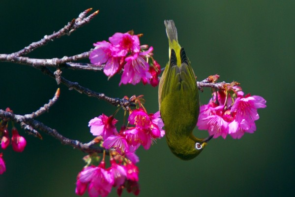 Un pajarito boca abajo sobre una rama en flor