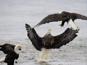 Postal: Águilas calvas peleando sobre el agua