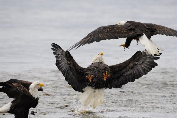 Águilas calvas peleando sobre el agua