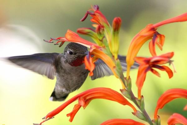 Un colibrí libando el néctar de una flor
