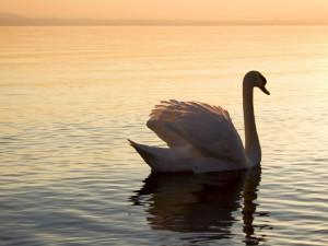 Cisne en el lago Constanza, Alemania