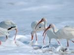 Ibis blancos en el agua espumosa del mar