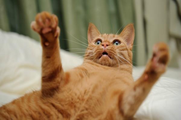 Gato levantando las patas delanteras