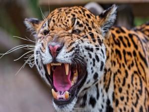 Un jaguar mostrando los colmillos