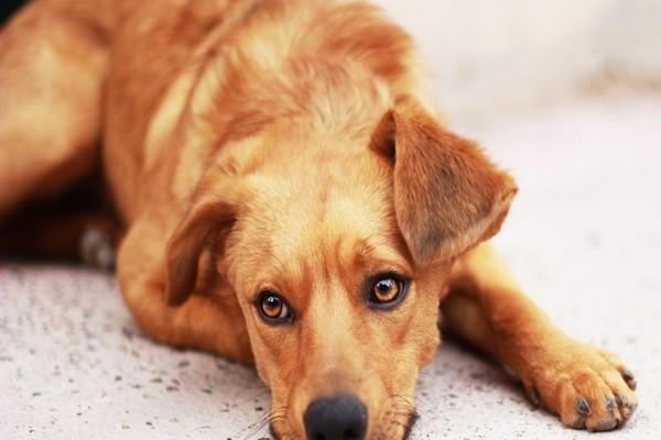 Bonito perro marrón tumbado