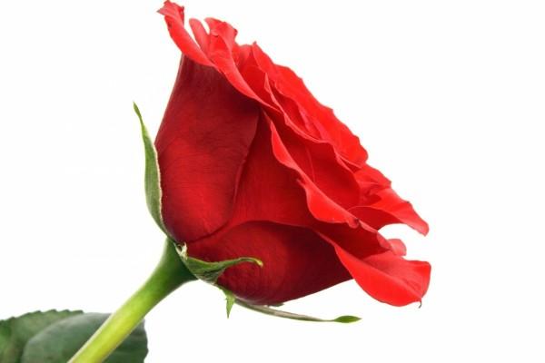 Rosa roja para un corazón solitario
