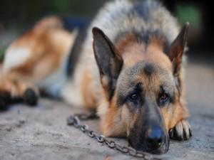 Postal: Perro encadenado