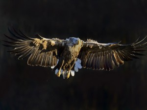 Postal: Águila de cola blanca volando