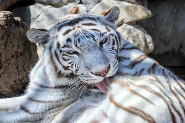 Un tigre blanco lamiéndose