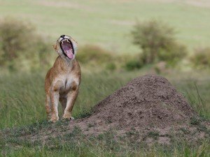 Una leona bostezando