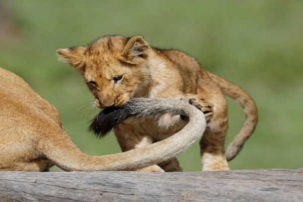 Un cachorro de león jugando con la cola de su mamá