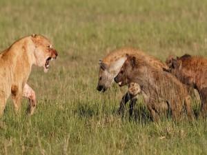 Leona enfrentada a unas hienas