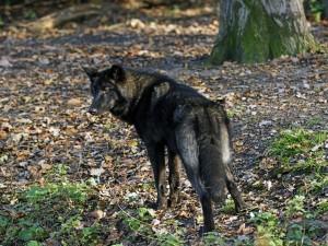 Postal: Lobo negro mirando atentamente