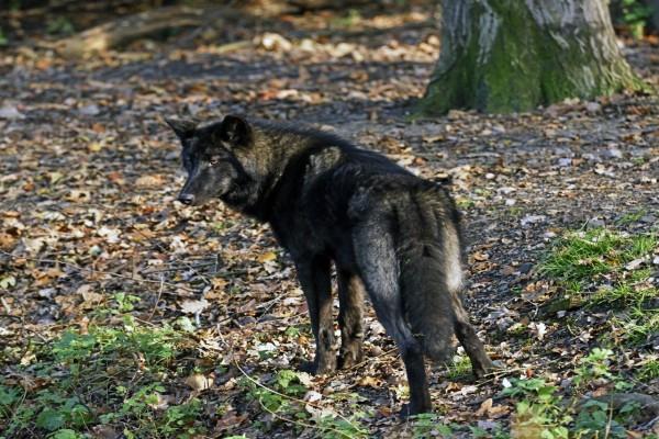 Lobo negro mirando atentamente