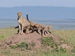Una familia de guepardos