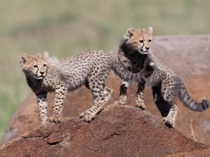 Postal: Pareja de jovenes guepardos sobre una roca
