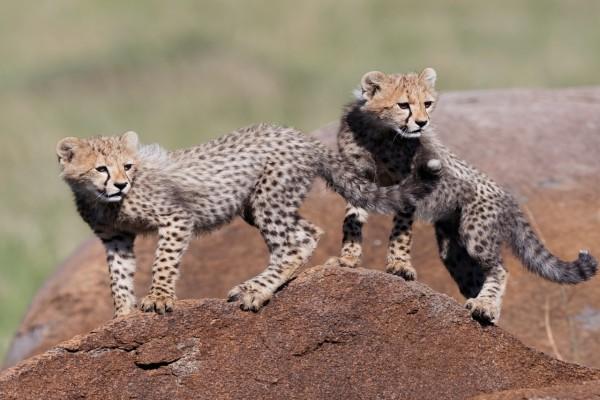 Pareja de jovenes guepardos sobre una roca